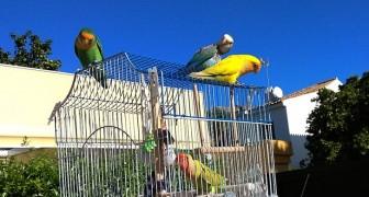 Diese Papageien streifen durch die Stadt und befreien ihre Artgenossen aus ihren Käfigen: drei clevere und farbenfrohe Vögel