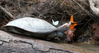Bellissime immagini di farfalle che bevono lacrime di tartaruga: il fotografo ci spiega perché lo fanno