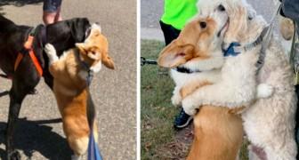 Questo tenero corgi abbraccia con affetto tutti i cani che incontra durante le sue passeggiate col padrone