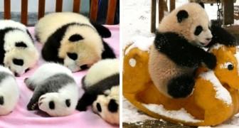 In Cina esiste un asilo nido per panda in cui i cuccioli possono giocare e dormire tranquilli: le foto sono dolcissime