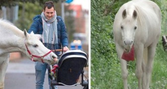 A white horse walks alone through the streets of his neighborhood every day: she is now a local celebrity