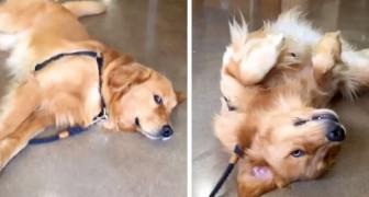 Questo cucciolone si lascia trascinare pur di non uscire dal negozio per animali: il suo sguardo vale più di mille parole
