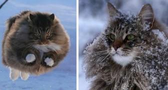 Questi 4 gattoni dalla pelliccia così folta e morbida non hanno alcun problema a sopravvivere durante l'inverno