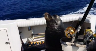 This sea lion has found the best way to get some fish today !!