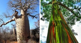 17 der kuriosesten und spektakulärsten Bäume der Erde: wahre Wunder der Natur