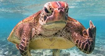 De foto van een schildpad die haar middelvinger laat zien won de Comedy Wildlife Awards 2020