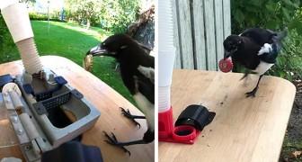 Een man maakt een apparaat dat eksters voedsel geeft in ruil voor afval: hij traint de vogels om te recyclen