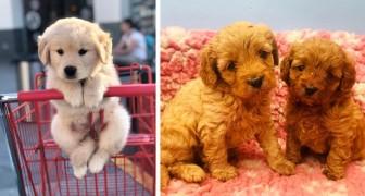 Estes cachorrinhos são tão fofos e macios que parecem bichinhos de pelúcia: 20 fotos que vão fazer você se derreter