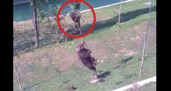 Een puppy is gestrand in de boom, maar de moeder beer komt tot redding!