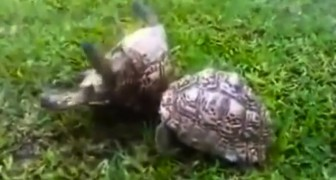 These 2 tortoises show us the meaning of friendship !!