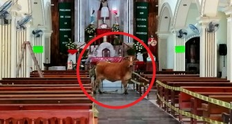 A cow destined for slaughter escapes from the slaughterhouse and hides in a church: it seems to praying for its life