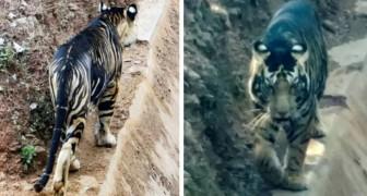 Ein Amateurfotograf trifft auf einen sehr seltenen schwarzen Tiger: es gibt nur 6 davon auf der Welt