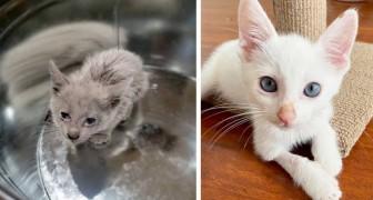 Un gattino viene ritrovato ricoperto d'olio di motore: dopo il lavaggio rivela tutta la sua bellezza