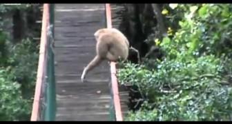 La scimmia equilibrista