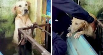 Un cane si salva da una violenta alluvione reggendosi ad una ringhiera: il momento del salvataggio