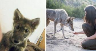 Adopta a un perro encontrado en el camino, pero luego los veterinarios le dicen que es un cachorro de lobo
