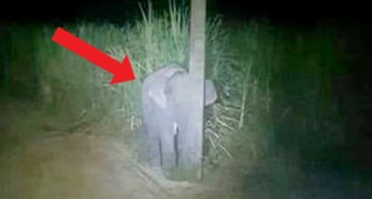 A baby elephant is caught eating sugar cane and tries to hide behind a post