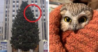 Encontram uma coruja na árvore de natal do Rockefeller Center: ela viajou 270 km em 2 dias