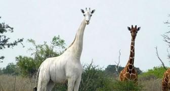 Una delle ultime giraffe bianche è stata dotata di un GPS per provare a salvarla dai bracconieri