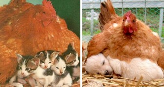 12 hens who have warmed baby animals of different species with their maternal instincts