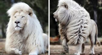 Un fotografo talentuoso è riuscito ad immortalare un leone bianco in tutta la sua maestosità