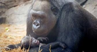 Un gorilla di 39 anni partorisce un dolcissimo cucciolo di quasi tre chili: festa nello zoo dove è venuto alla luce