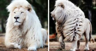 Un fotografo è riuscito ad immortalare tutta la bellezza di un maestoso leone bianco