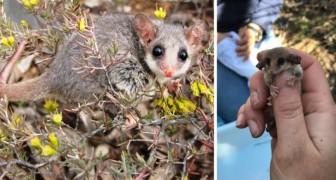 Riscoperti in Australia rari opossum pigmei: si temeva che gli incendi li avessero portati all'estinzione