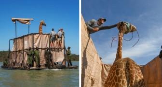 Un gruppo di giraffe è stato salvato da una violenta alluvione, grazie ad una chiatta costruita intorno a loro