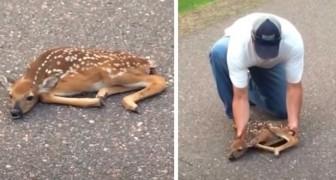 Due uomini vedono un cerbiatto paralizzato dalla paura in mezzo alla strada: il video dell'emozionante salvataggio