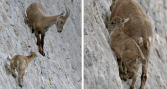Le abilità di queste capre capaci di sfidare tutte le leggi della fisica per nutrirsi dei depositi di sale in cima alla diga