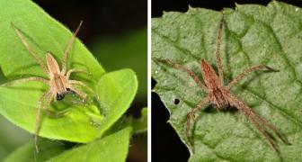 Einige männliche Spinnen fesseln Weibchen vor der Paarung, um nicht gefressen zu werden
