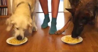 A Golden Retriever, a German Shepherd and a plate of spaghetti each: who do you think will finish first?