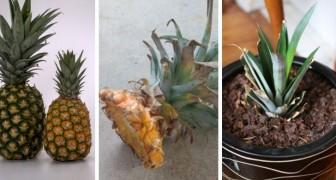 Il metodo semplicissimo per far crescere una pianta di ananas dal ciuffo