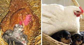16 fotos muestran el increíble instinto materno de las gallinas, listas para cuidar a cualquier animal