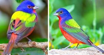 Il Papa della Louisiana, l'uccellino dai colori così affascinanti che sembra un arcobaleno con le ali
