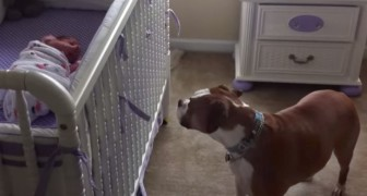 A baby girl is crying in the cot: the dog's reaction will surprise you !