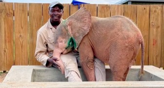 An albino elephant is rescued by volunteers after wandering alone for days with a trap caught on his leg