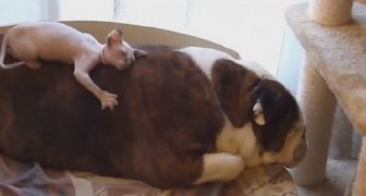 Look what this Bulldog allows his little friend to do. Super Sweet!