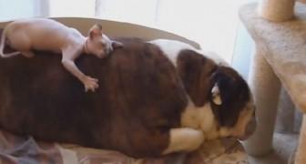 Olha o que este cão deixa o seu pequeno amigo fazer com ele...