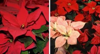 Stelle di Natale: i consigli più utili per conservarle al meglio e farle fiorire a lungo