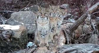 Een man slaagt erin om drie lynxen met een drone te fotograferen in enkele gedenkwaardige beelden: het lijkt erop dat ze voor hem hebben geposeerd