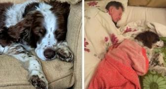 En äldre hund har svårt att röra sig så familjen turas om att sova med den på soffan för att ge den tröst