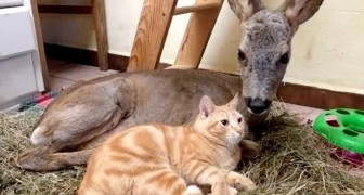 Il gatto non abbandona nemmeno per un secondo il capriolo ferito: lo accudisce come fosse un suo simile