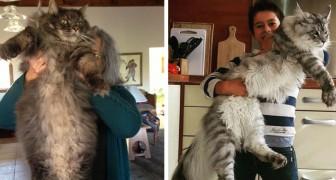 20 foto's van elegante en gigantische Maine Coon-katten waardoor we ons allemaal een beetje kleiner voelen