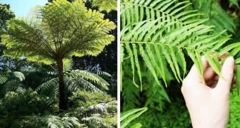 Le felci arboree sono più antiche dei dinosauri ma non è questo l'unico aspetto interessante di queste piante