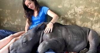 Una ragazza riesce a salvare un cucciolo di rinoceronte orfano e ora lui non si separa più da lei