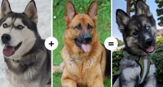 15 chiens aux caractéristiques fascinantes et insolites montrent le résultat du croisement de différents gènes