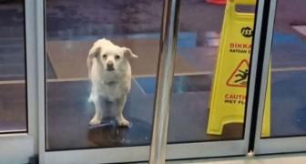 Ce petit chien fidèle a attendu six jours devant l'entrée de l'hôpital en attendant son maître hospitalisé