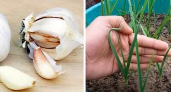 Hoe je in een paar simpele stappen knoflook in potten kweekt en altijd een voorraad in huis hebt